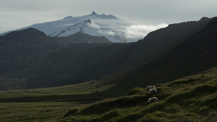 Sheep graze the shadow of the ice-covered Snæfellsjökull volcano in western Iceland.